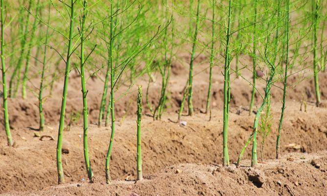 Taller de Trabajo sobre «Posibilidades de Cultivos Alternativos en Regadío: Espárrago Verde y Brásicas (Bróculi y Coliflor»